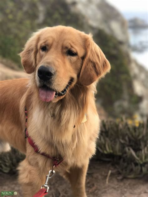 Stud Dog - Beautiful golden retriever male looking for